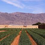 yotvata field